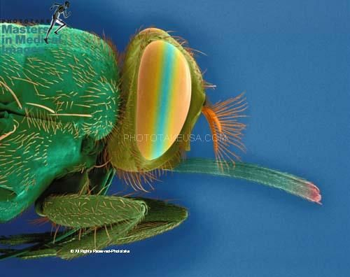 Scanning electron micrograph of a tsetse fly (Glossina species) head, mag. 4x (at 24 x 36mm). Note the prominent proboscis. Tsetse flies are vectors of trypanosomes that cause sleeping sickness. © Dennis Kunkel Microscopy, Inc. / Phototake