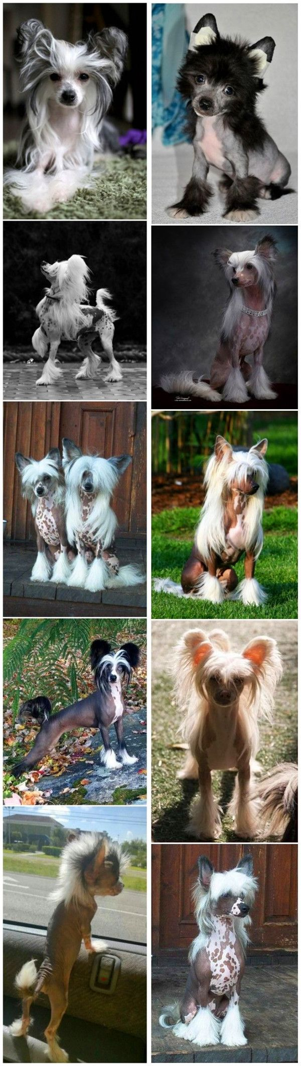 Chinese Crested Cuteness is definitely not the right word to describe this dog breed. It has an exotic looking which may impress you deeply. It is hairless for the body and has some silky hair on the head, tail and feet. They are quite lively and like to be with their owners.