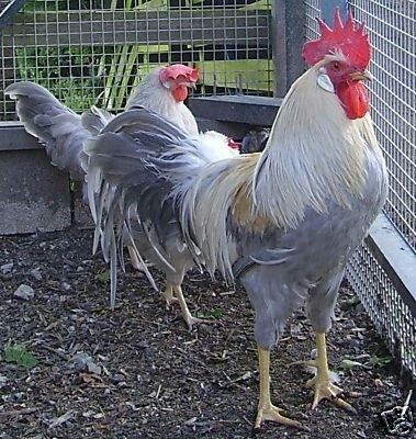 70 best images about White Egg laying chicken breeds on ...