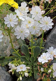 Lewisia cotyledon 'White Splendor' - Another Rock wall contender