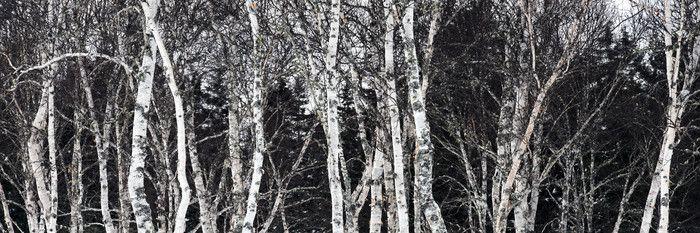 Birch Trees. Prince Edward Island, Canada.