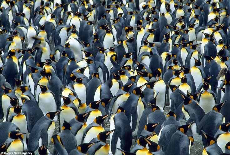 A mass colony of king penguins in South Georgia: Thousands of King Penguins  herd their re...
