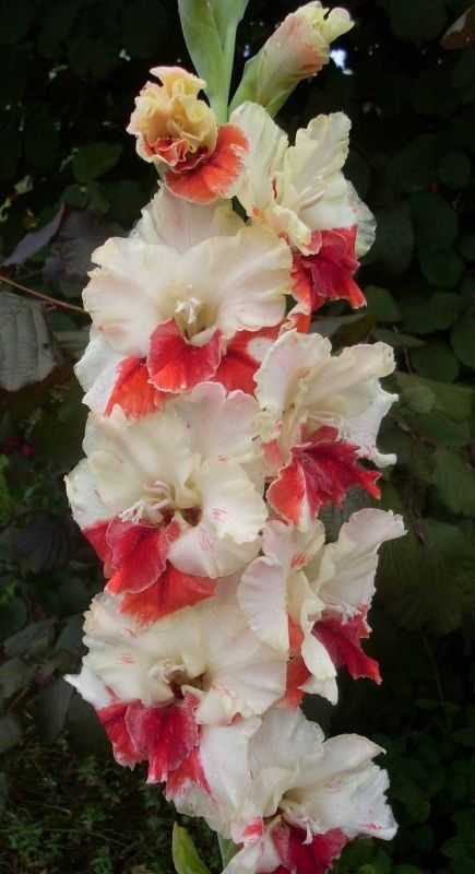 Gladiolus 'You and I'
