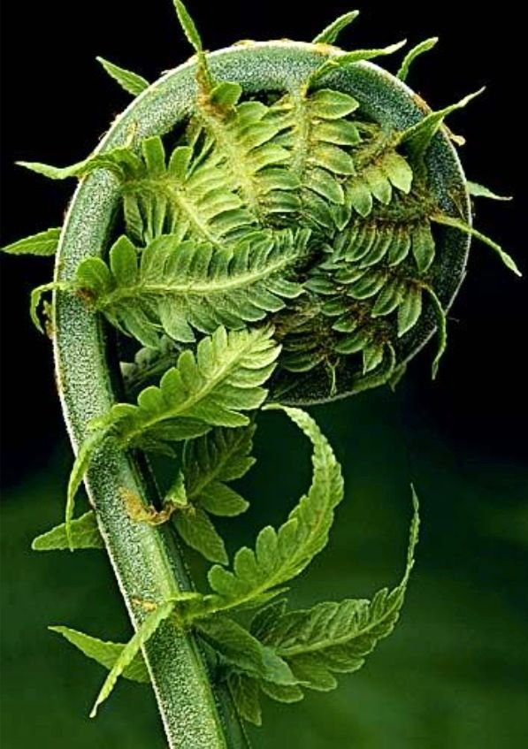 how to prepare fiddlehead ferns