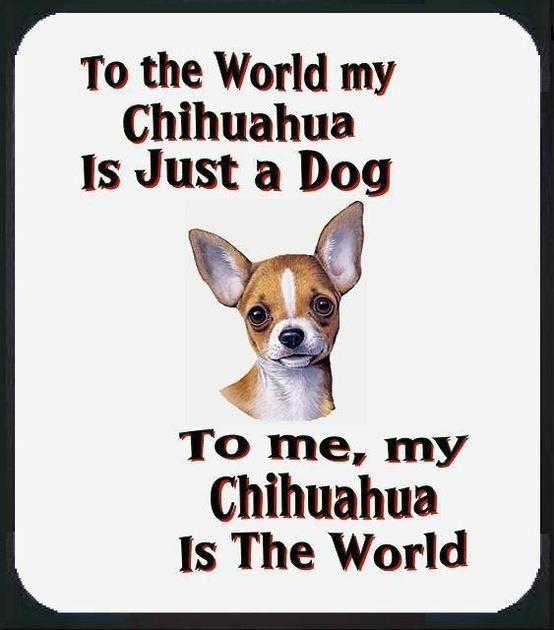 Chihuahua ❤