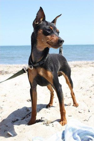 miniature pinscher, min pin.. The boys next dream dog. Tough looking but little like Woooosie!