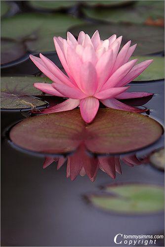 Pink Lily Retrato | Flickr - Compartilhamento de fotos!