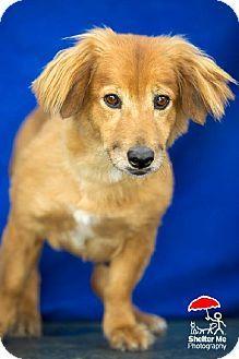 New Orleans, LA - Corgi/Golden Retriever Mix. Meet Kate the Corgi Retriever a Dog for Adoption.