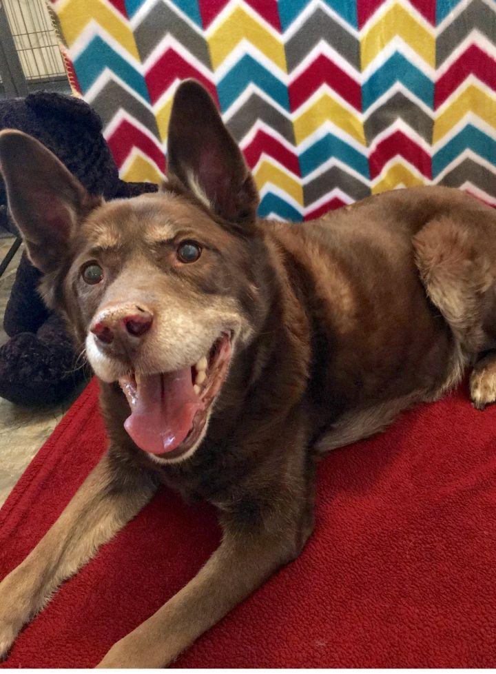 Adopt Bear On Adoption Pet Adoption Labrador Retriever