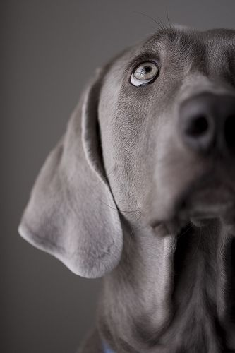 Such a kind and sweet look...Weimaraner
