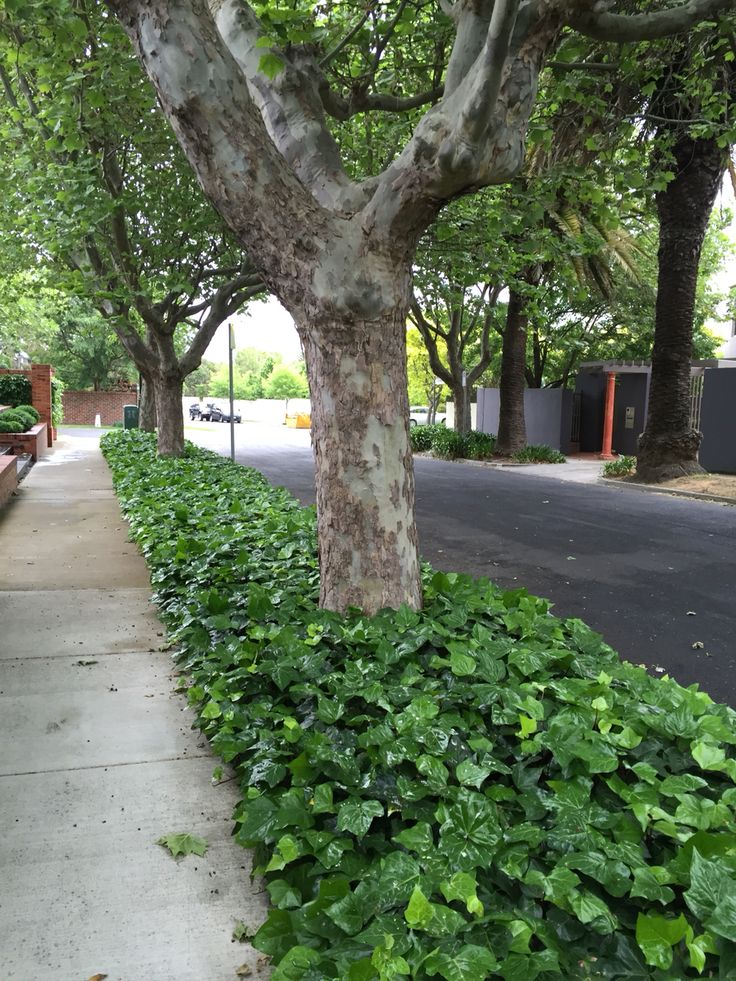 ivy ground cover residential street planting - Ground Cover Ideas