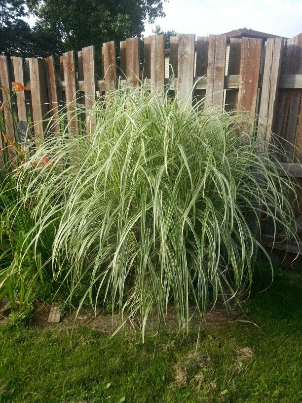 My favorite plant i had oriental grass my completed for Oriental grass