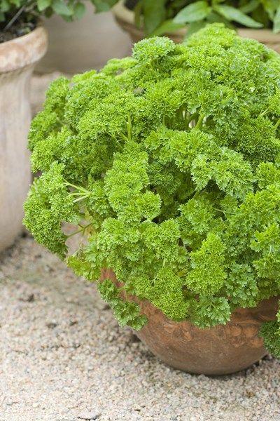 Persilja - odla i kruka eller friland