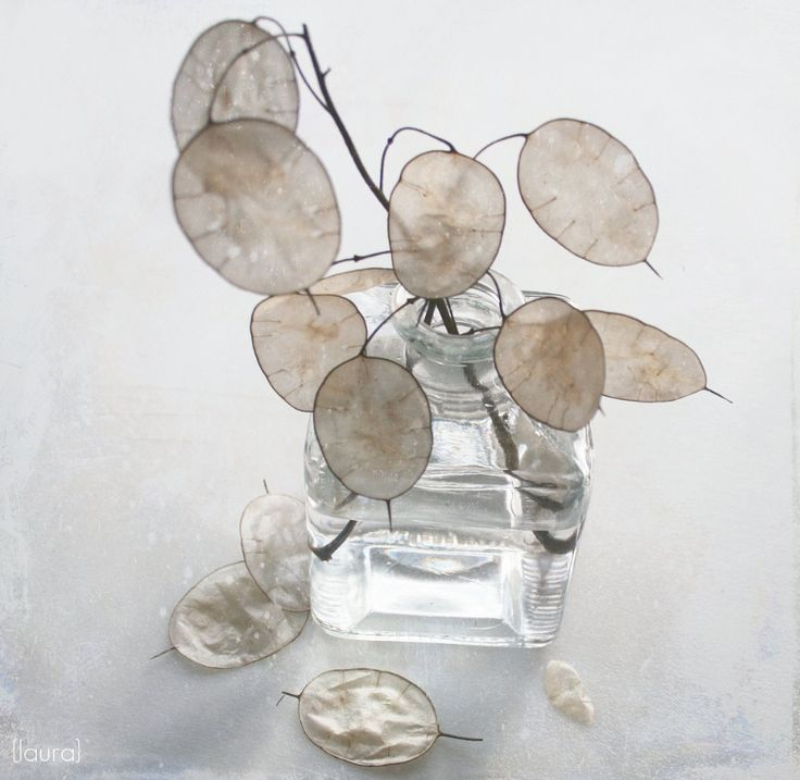 Lunaria in a container