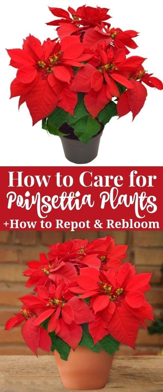 How To Care For Poinsettia Plants Poinsettia Plant Poinsettia Care Plants