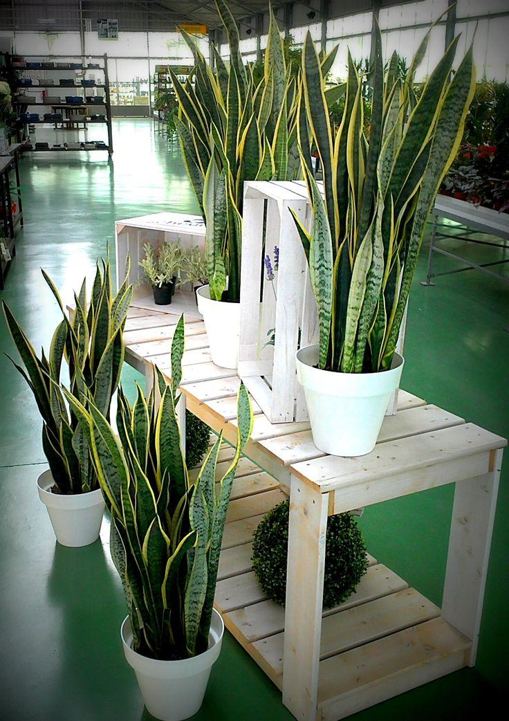 Sanseviera trifasciata laurenti planta de interior fuerte for Plantas de interior con poca luz
