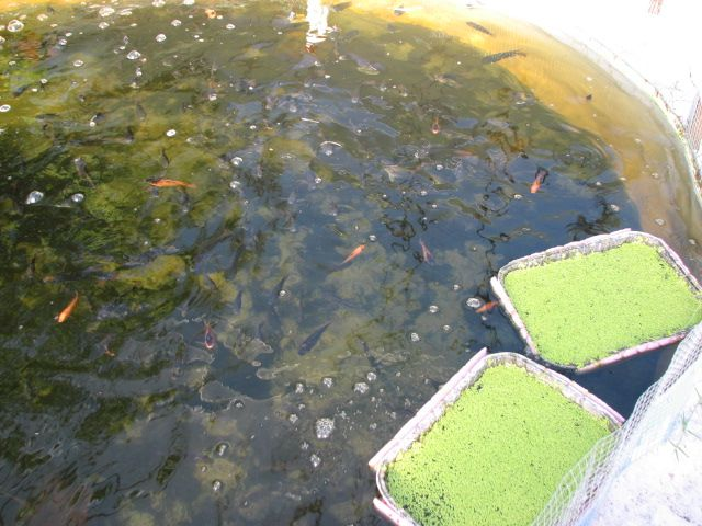 Top 25 best tilapia fish farming ideas on pinterest for Tilapia fish farming