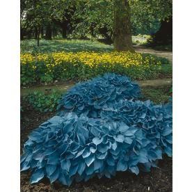 Garden State Bulb 3 Pack Hosta Blue Mixed Bulbs Lb22720 Flowers