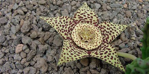 17 best images about plantas on pinterest sun althaea for Stapelia variegata