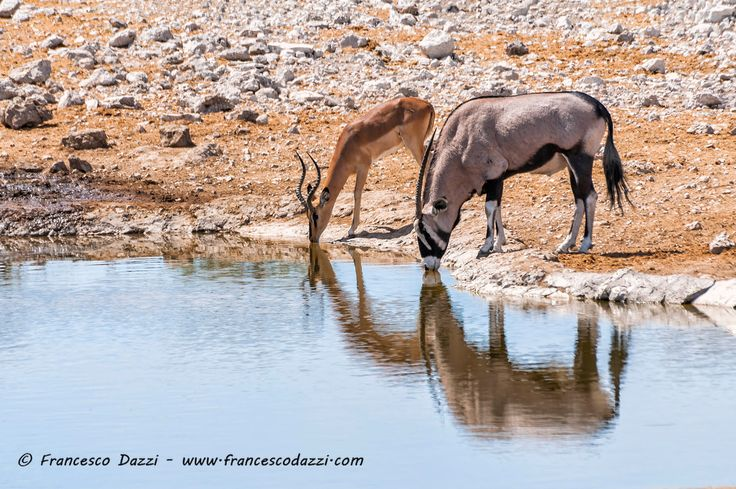 Gemsbok and Springbok at the water pool in Etosha park