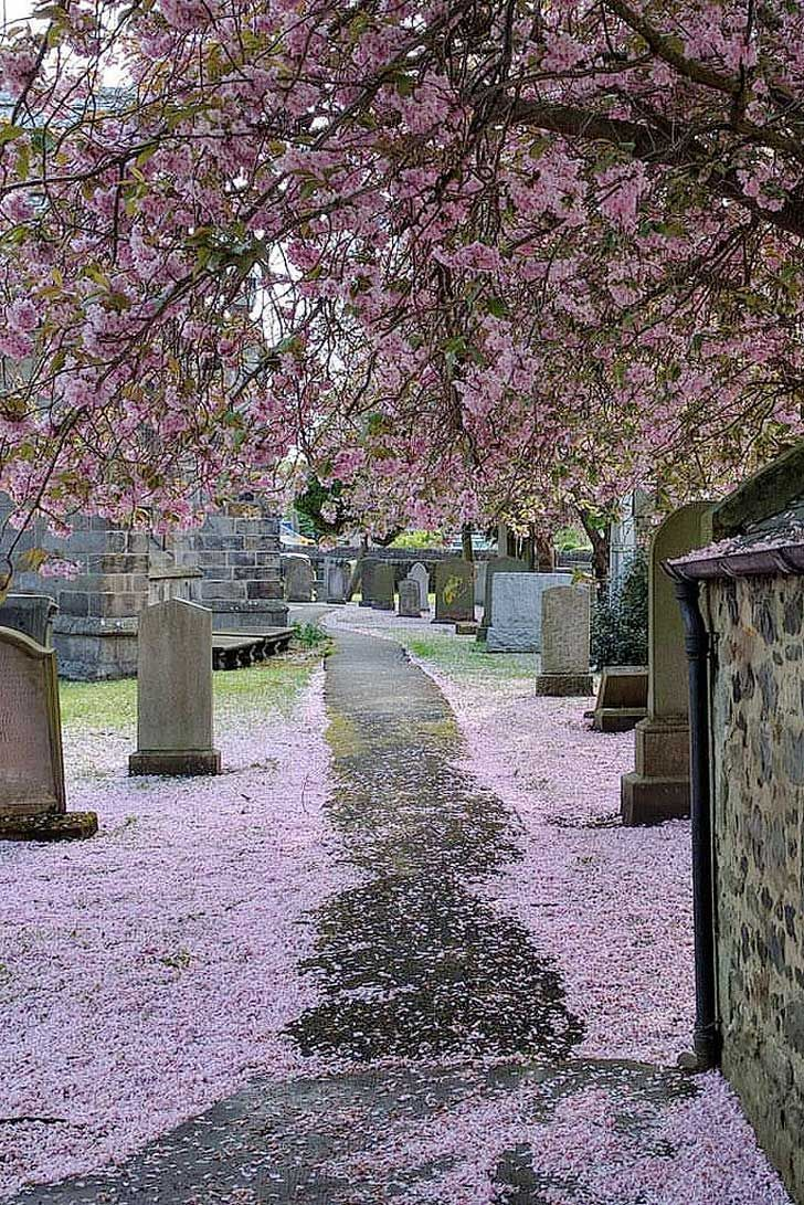 15 Amazing Places To See Cherry Blossoms In The World Cherry Blossom Japanese Cherry Tree Flowering Cherry Tree
