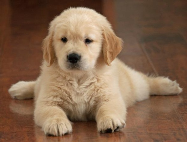 golden retriever puppy! cute-animals