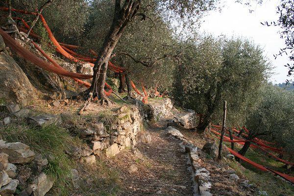 Castellaro, Olivenhain wurde in Italien, Castellaro aufgenommen und hat folgende Stichwörter: Ligurien,  Castellaro.