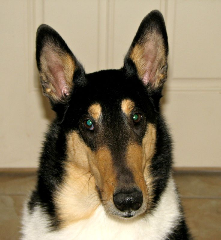 Dylan-TriColor Smooth Collie getting ready for summer...it's called shedding!