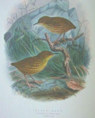 Nombre vulgar: Reyezuelo de la isla Stephens, Stephens island Wren  Nombre científico: Traversia lyalli