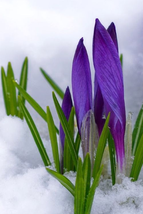 164 best flowers of snow images on pinterest winter winter purple crocus peeking through the snow the first sign of spring mightylinksfo