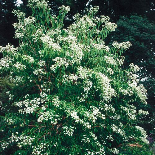 Heptacodium Miconioides Seven Sons Flower Tree At Park Seed