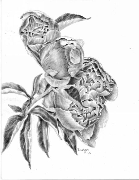 Serenity peonies graphite drawing by Brenda Hill