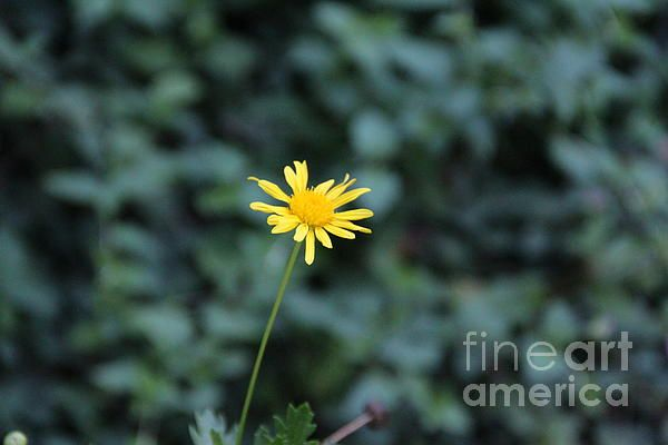 tiny yellow flower photography- in spain
