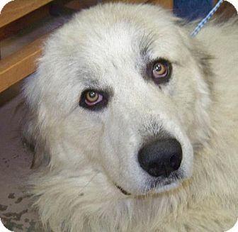 6/21/14 Rockaway, NJ - Great Pyrenees. Meet Lorenzo, a dog for adoption. http://www.adoptapet.com/pet/11012652-rockaway-new-jersey-great-pyrenees
