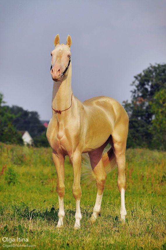 Stallion Akgez-Geli (Gaygysyz-Enegul) 2008