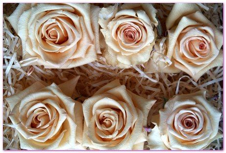 White Rose Heads