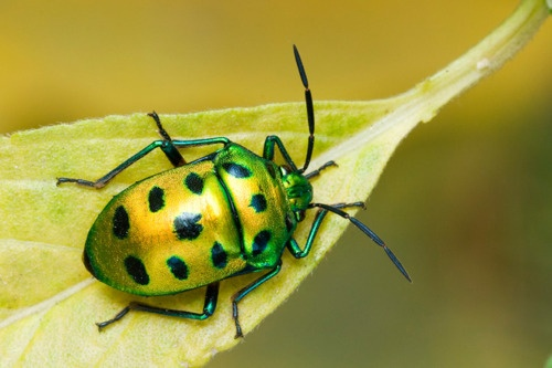 """LYCHEE SHIELD BUG - a jewel bug  Chyrsocoris stolli  ©nagraj v    Jewel bugs are small to medium-sized oval-shaped hemipterans or true bugs with a body length averaging at 5 to 20mm (0.20 to 0.79 in). They can easily be distinguished from stink bugs (Pentatomidae) because the shield-like enlarged last section of their thorax (known as the scutellum, Latin for """"little shield"""") completely covers the abdomen and the wings, unlike the elytra of beetles which are hardened forewings."""