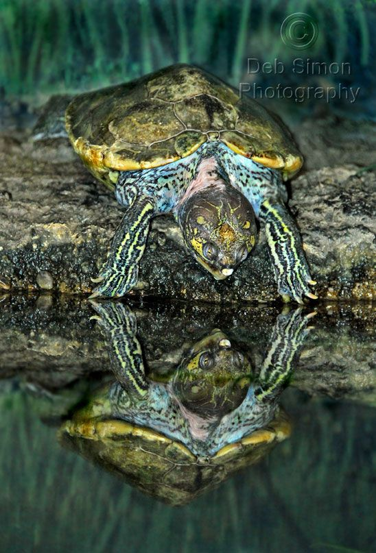 """Turtle Reflection"" ❥http://PhilosBooks.com❥"
