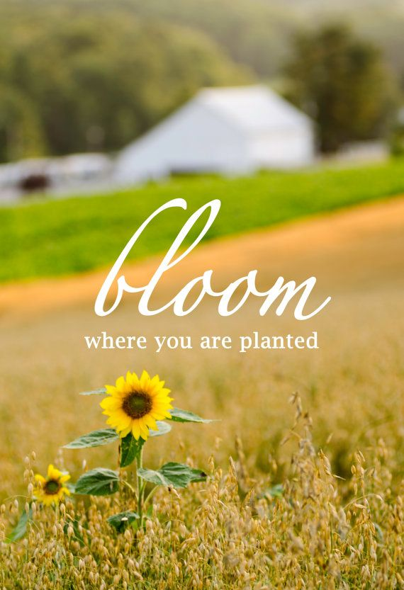Bloom where you are planted. Loretto, Pennsylvania sunflower barn dairy farm. Vale Wood Farms. Check out on Etsy