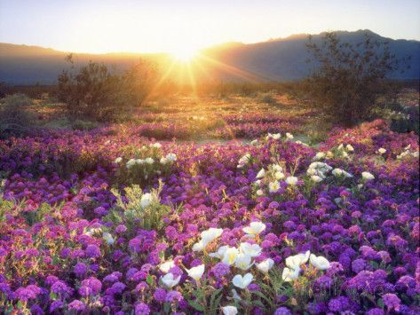 Sand Verbena and Dune Primrose Wildflowers at Sunset, Anza-Borrego Desert State…