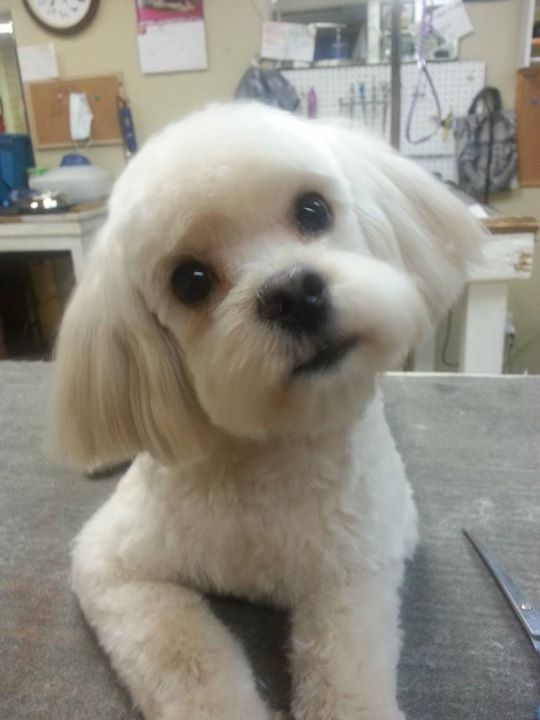 8 Best Maltipoo Moodle Images On Pinterest Doggies Pets And Poodles