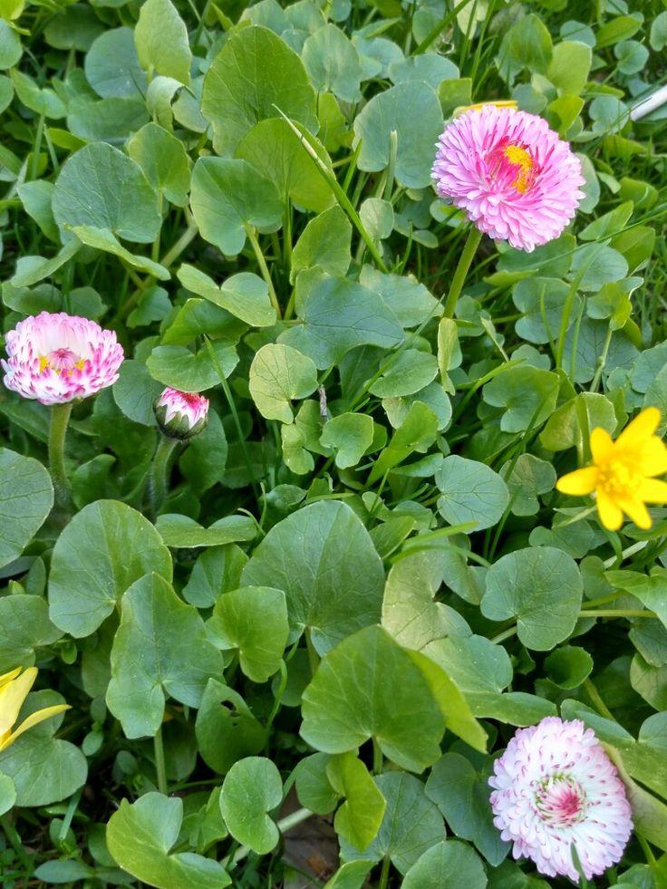 Маргаритки. Розовые помпошки.  А знаете ли вы,что маргаритка - цветок, символизирующий чистоту, доброту, невинность и простосердечие. О ней написаны стихи, сложены легенды, она есть в справочниках по фэншуй и даже в сонниках.