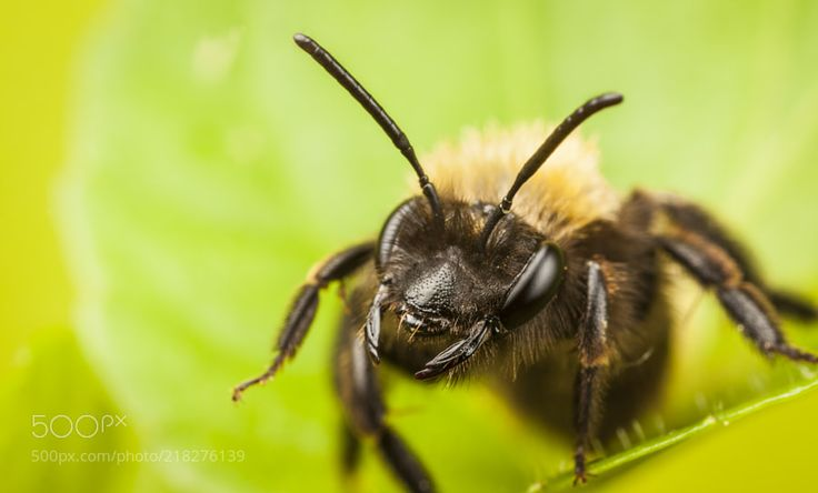 Tawny Mining Bee - Solitary Bee Andrena fulva. These Bees nest on the ground they like dry relatively clear areas under hedges and on the margins of lawns and paths. These Bees do not sting and tiny piles of mud on your lawns are a good sign. You have pollinators for your flowers!