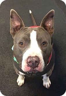 Seattle, WA - Staffordshire Bull Terrier. Meet Casanova - Heartthrob Handsome, a dog for adoption. http://www.adoptapet.com/pet/17354954-seattle-washington-staffordshire-bull-terrier