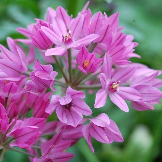 Allium Ostrowskianum Allium Flowering Bulbs Perennial In Zones 4