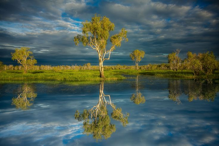 A reflection of a large paperbark tree by the water's edge in Kakadu National Park, Australia.