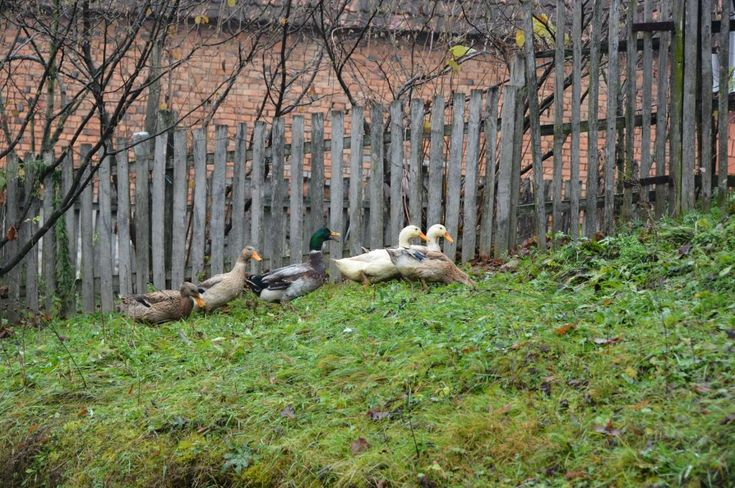 Village Ljutice in Serbia, ducks all around making yard so beautiful with their presence