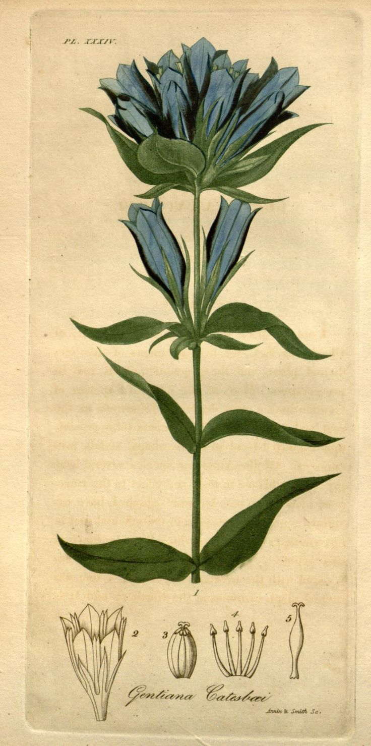 Blue Gentian (plate XXXIV), from American Medical Botany by Jacob Bigelow (1786–1879). Published by Cummings and Hilliard, Boston, 1817-20