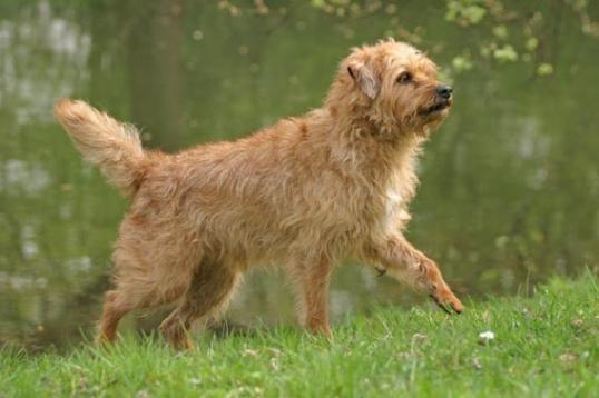 Walking Dutch Smoushond dog photo