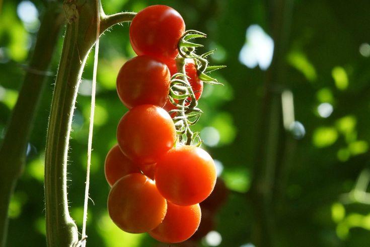 Torna il sorriso in cucina dove il pomodoro è assoluto protagonista, soprattutto nella cucina italiana. Per circa 50 anni gli agricoltori hanno selezionato